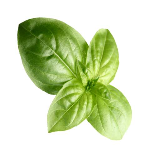 Basil basil also called great basil or saint josephs wort is a culinary herb of the family lamiaceae mints.