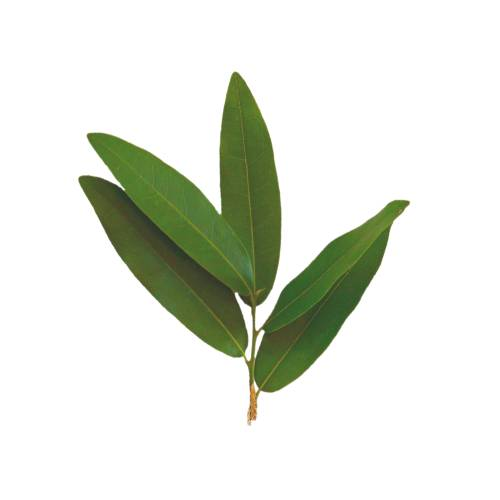 Bay Leaf bay leaf is an aromatic leaf commonly used in cooking. it can be used whole or as dried and ground.