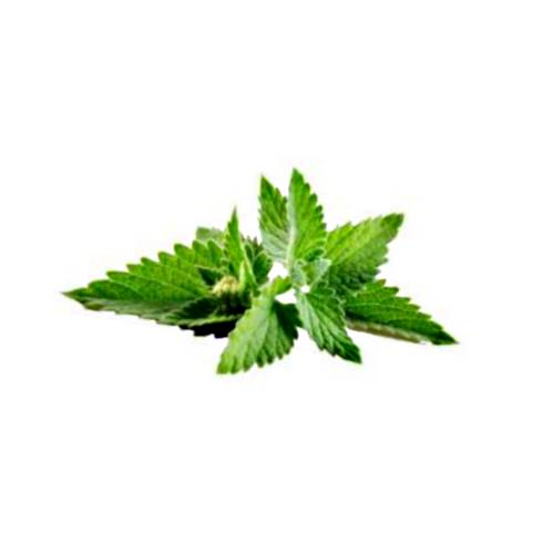Peppermint peppermint herb is a hybrid mint a cross between watermint and spearmint.